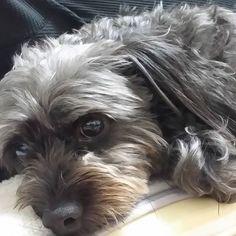 1週間お疲れさまでしたぁ王チャンモも、お留守番ありがとうねぇฅ'ω'ฅ明日の朝雨☔降ってなかったらお散歩行きましょヾ(´︶`♡)ノ おやすみなさいZz(´-ω-`*)(๑•́ωก̀๑) #王チャンモ  #チャンモ  #犬バカ部  #愛犬love  #愛犬  #愛犬家  #愛犬バカ  #dogsofinstagram  #dog  #dogs  #dogstagram  #犬スタグラム  #チワックス  #チワワ  #ワイヤーダックス  #chihuahua  #dakkusuhundo  #lovelovelove  #japanese  #love  #lovely  #loveit #cute  #cutedog  #lovelove #japan  #ミックス犬  #mix犬
