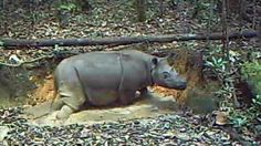 'Extinct' Sumatran rhino spotted in Indonesian forest - video