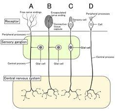 A schematic of the classes of sensory receptors