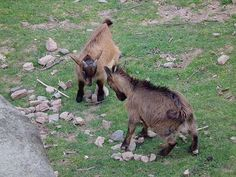 Photo of goat kids from Wiki Commons