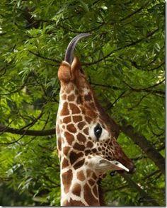 Fotos bonitas de jirafas