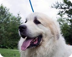 8/8/16 Shorewood, IL - Great Pyrenees. Meet Kevin a Dog for Adoption.