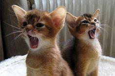 二匹で一緒に鳴く猫.jpg (400×265)