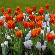 Der weiße Krokus 'Jeanne d'Arc' zwischen roten Tulpen. Pflanzzeit ist im Herbst - online bestellbar bei www.fluwel.de