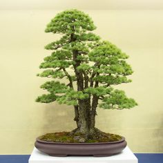 Photos of trees from the Funayama collection on display at the World Bonsai Convention in Saitama, Japan, including a pine known as a million dollar bonsai.