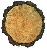 How do tree rings form?