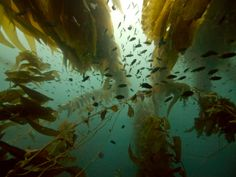 Looking up a five story kelp bed off of San Clemente Island.