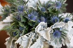 Chardon bleu and dusty miller - Google Search