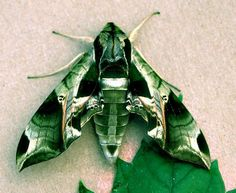 Pandorus Sphinx Moth....there was one in my garage...I would have rather seen an axe murderer in there...seriously
