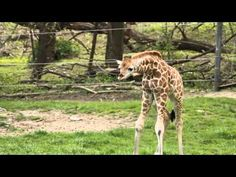 Nothing to see here, just a cute little spindly 6-foot-tall baby giraffe.