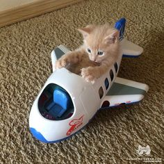 """From @nicoll_mackenroth: """"Ready for his flying lesson! """" #catsofinstagram"""
