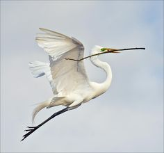 Egret With Nesting Material Photograph by Howard Knauer