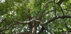 İstanbul'un 'en'leri En büyük saraydan en yaşlı ağaca,en yüksek binadan es eski aşk şiirine, şehrin dünyaya meydan okuyan 'EN'leri...  En yaşlı ağaç: 600 yıllık doğu çınarı