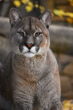 Quite an interesting animal, the puma, I thought it was a large cat when I first saw it but it's not, it doesn't have the vocal range to growl