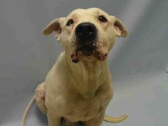 SUPER URGENT Brooklyn Center ALPO – A1046152 I am an unaltered male, white American Pit Bull Terrier mix. The shelter staff think I am about 10 years old. I was found in NY 11210. I have been at the shelter since Jul 31, 2015. http://nycdogs.urgentpodr.org/alpo-a1046152/