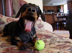 Welcome to My New Home – Crusoe the Celebrity Dachshund