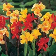 Canna Lily Seeds - MIXED VARIETIES - Easy to Grow - Exotic Blooms - 10 Seeds