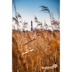 Hinter goldgelbem Schilf erscheint der Pellwormer Leuchtturm am Horizont