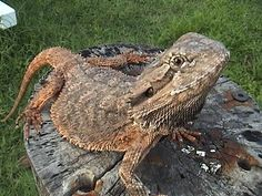 The Bearded Dragon Diet - 7 Top Foods - Exotic Bearded Dragons Eastern Bearded Dragon, Bearded Dragon Diet, Reptiles, Animals, Animales, Animaux, Animal, Animais