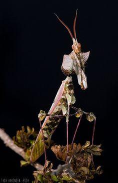 Adult male Idolomantis diabolica, Giant Devils Flower Mantis