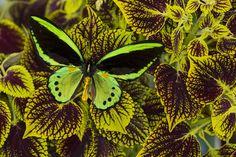 Tropical Birdwing Butterfly, Ornithoptera priamus priamus, on Coleus plant,  Photograph by:  Darrell Gulin