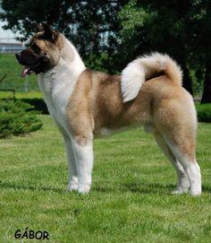 Akita Japanese Akita, Japanese Dogs, Akita Puppies, Dogs And Puppies, Doggies, Beautiful Dogs, Animals Beautiful, All Dogs, Best Dogs