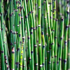 Tiges verticillées (les tiges secondaires se développent en verticilles perpendiculaires à la tige principale) Prêle des cours d'eau, des rivières (Equisetum fluviatile)