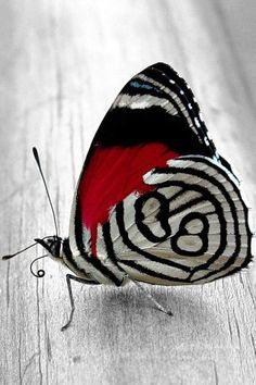 often called an 88 Butterfly. The scientific name is Diaethria Anna.