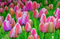 Printemps à Istanbul- Tulipes