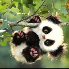 Baby panda bear clinging for a tree branch Baby Animals Super Cute, Cute Little Animals, Cute Funny Animals, Baby Animals Pictures, Cute Animal Pictures, Animals And Pets, Adorable Pictures, Cute Images, Zoo Animals
