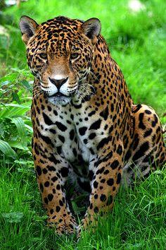 Meet the Terrifically Powerful Rainforest Animal - the Jaguar ...