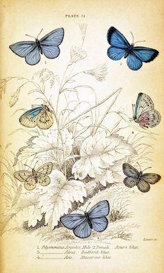 Vintage Butterfly Illustration a decoupage print