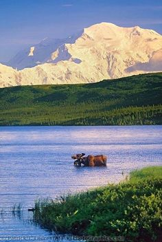 Spectacular #moose and #mountains