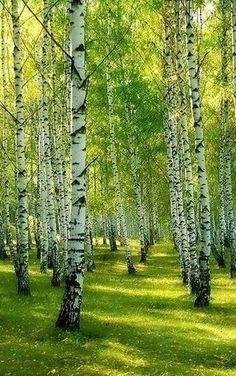 Our Beautiful Nature Beautiful Nature Pictures, Amazing Nature, Beautiful Landscapes, Beautiful Gardens, Beautiful Places, Watercolor Landscape, Landscape Art, Birch Tree Art, Aspen Trees