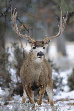 A black-tailed Mule Deer buck (by David Irwin / Mule Deer Buck, Mule Deer Hunting, Whitetail Deer Pictures, Deer Photos, Big Deer, Deer Family, Wild Mustangs, Mundo Animal, Fox Animal