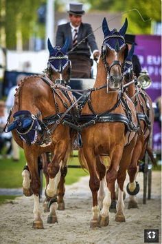 Handsome team of carriage horses in harness. Horse Riding Gear, Horse Racing, Equestrian Outfits, Equestrian Style, Types Of Horses, Big Horses, Riding Lessons, Horse Carriage, Draft Horses