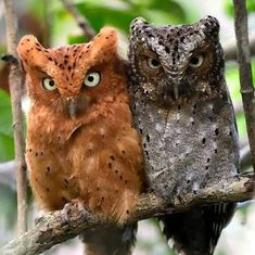 A pair of owls. The owl on the left is red while the second one on the right is gray and brown. Beautiful Owl, Animals Beautiful, Cute Animals, Owl Photos, Owl Pictures, Exotic Birds, Colorful Birds, Owl Bird, Pet Birds