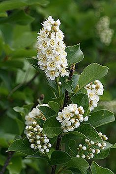 """Padus (Prunus) virginiana - Chokecherry - Rose Family (Roseaceae) - Early and Summer - Colorado Shrub - """"Padus"""" the ancient Greek name for this plant. """"Virginiana"""" is a common specific epithet given to honor the place the plant was first collected. (Other states, territories, or rivers are also the source of plant names: """"Canadensis"""", """"Missouriensis"""",  """"Arizonica""""....  The colony/state of """"Virginia"""" derives its name from the """"Virgin Queen"""", Queen Elizabeth the First of England.)"""