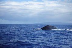 Whale season! Kapalua Bay, Whale, Seasons, Animals, Whales, Animales, Animaux, Seasons Of The Year, Animal