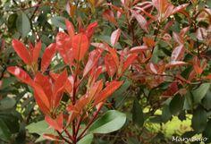 Fotinia (photinia frasseri), brotaciçon primaveral.