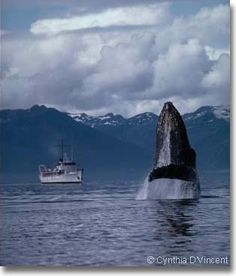 Humpback Whale photo by Cynthia D'Vincent http://www.intersea.org/photo.html