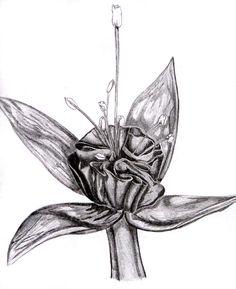 Fuschia pencil drawing