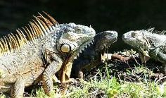 Dealing with Iguanas in the South Florida Landscape