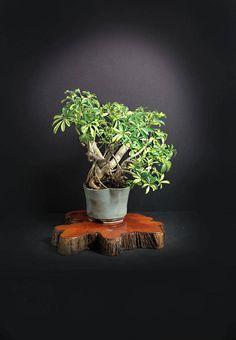 "Golden Schefflera Bonsai Tree ""Summer'17 Exotics Collection"" by LiveBonsaiTree by LiveBonsaiTree on Etsy"