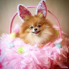 Bunny Ginger wishing everyone a Happy Easter -------------------------------------------------- Ginger can't wait to go to with her friends Lucy and Emily This is my entry for contest hosted by Cute Baby Animals, Animals And Pets, Funny Animals, Cute Puppies, Cute Dogs, Dogs And Puppies, Doggies, World Cutest Dog, Cute Pomeranian