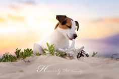 Jack Russell Terrier - Taste of the Ocean - by Heavenly Pet Photography #cutest…