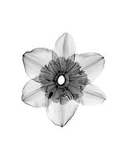 Xray image of daffodil- my favourite flower, a tattoo for the future.