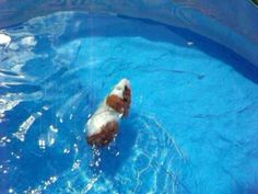 """our Guinea Pig Zelda, AKA """"ZooZoo"""" for a swin on a hot day. Really she loves it, she was not scared, we have had anther Guinea Pigs that did the same thing."""
