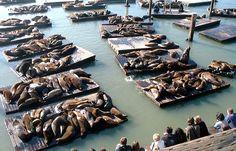 Use the form below to delete this Pier 39 Sea Lions San Francisco Bay California USA image from our index. Description from tattoodonkey.com. I searched for this on bing.com/images