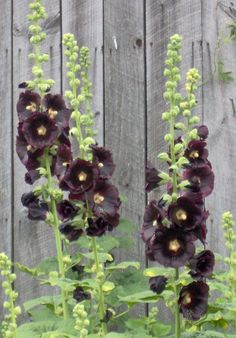 20 Black Flowers and Plants to Add Drama To Your Garden black hollyhocks, single